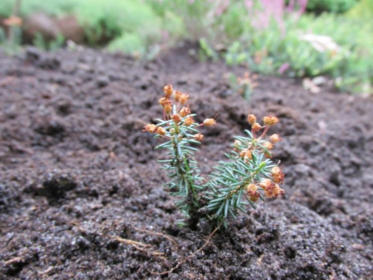 heide planten