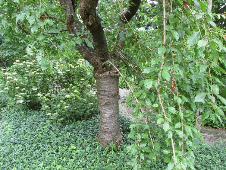 Ziekte bij prunus: plotseling afstervende takken