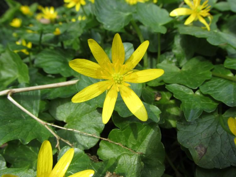 speenkruid bloemetje