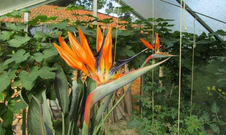 Verzorging van de paradijsvogelbloem (Strelitzia)