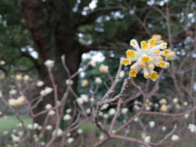 Mitsumata edgeworthia chrysanta papierstruik bloem