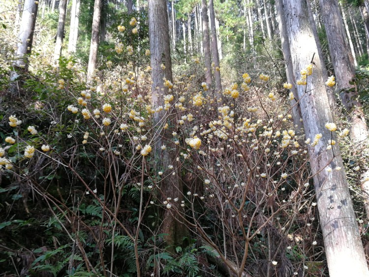 Mitsumata edgeworthia chrysanta papierstruik bos2