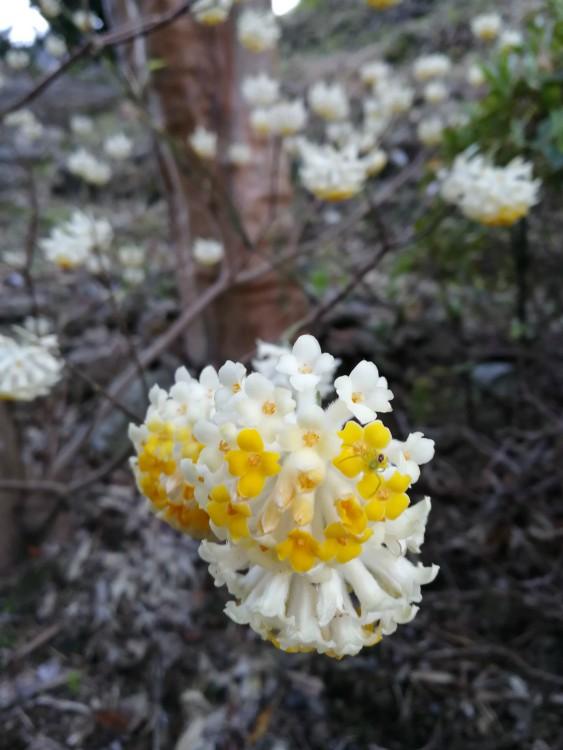 Mitsumata edgeworthia chrysanta papierstruik