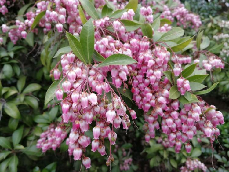 Onbekende plant Japan roze