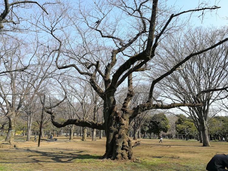 Prunus in Yoyogi-park