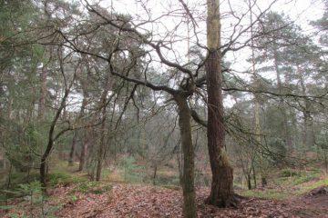 bomen wachtstand eik