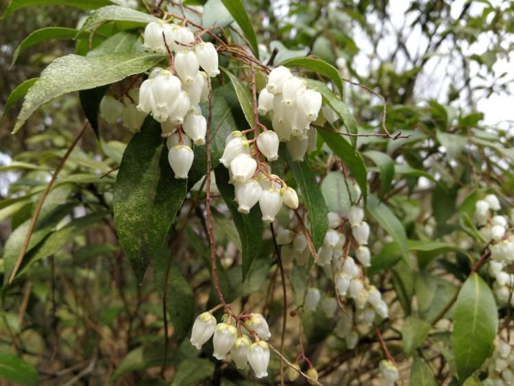 onbekende plant Japan wit
