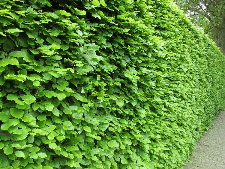 Bladverliezende of een groenblijvende heg, wat kies je?