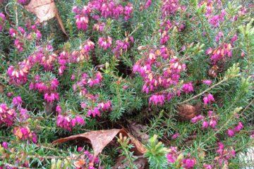 heide bloeiend