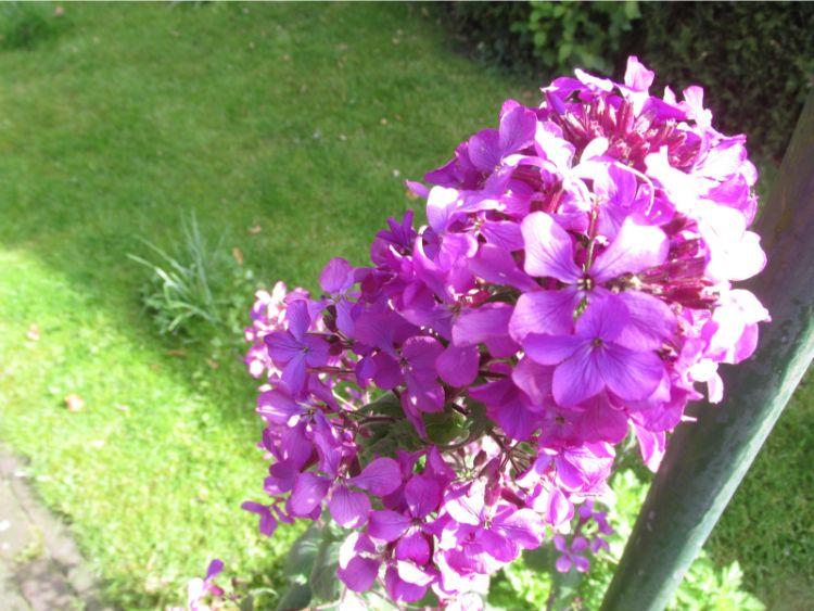 judaspenning bloem