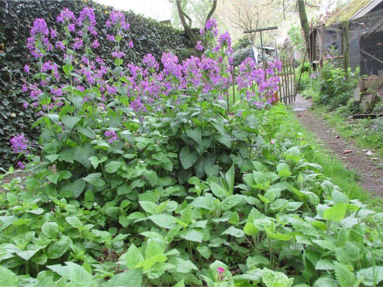 Judaspenning: vroege bloeier in de schaduw