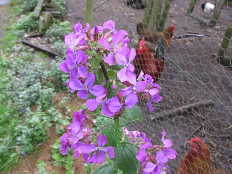 judaspenning bloemen paars