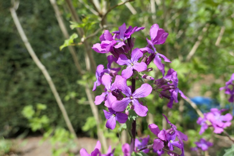 judaspenning paarse bloemen