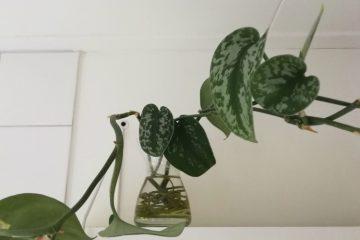 scindapsus pictus in vaas