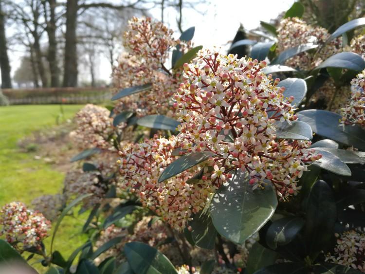skimmia bloeiend
