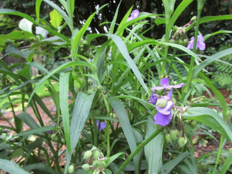 tradescantia bloem en blad