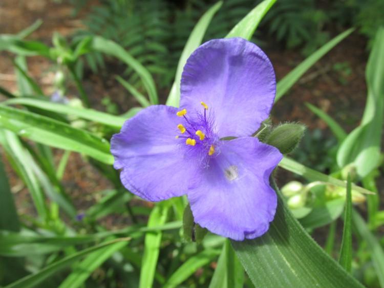 tradescantia ohiensis eendagsbloem mei