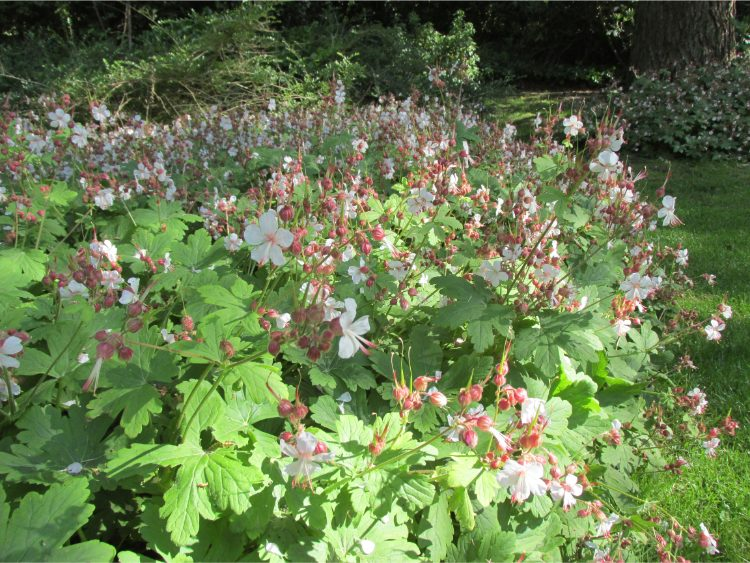 Ooievaarsbek (Geraniummacrorrhizum): ideaal in schaduw én volle zon