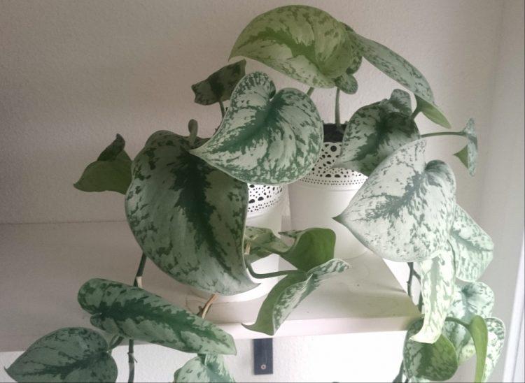 kamerplant scindapsus hangplant