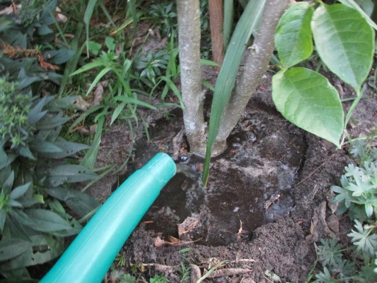 boom verplanten gietrand verzorging