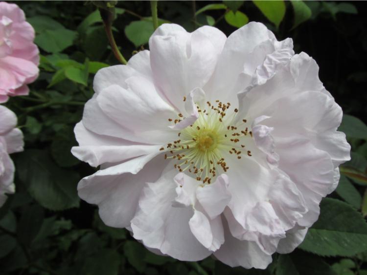 botanische roos lichtroze