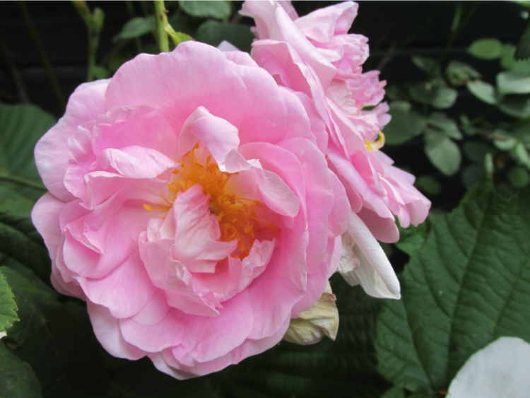 botanische roos roze