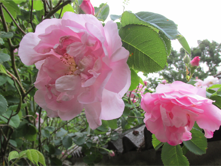 botanische rozen roze