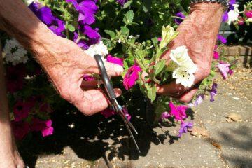 eenjarige zomerbloeiers petunia verbena snoeien