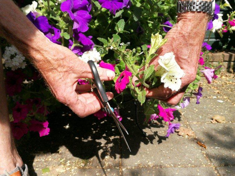 Snoeien: eenjarige zomerbloeiers in bakken of potten