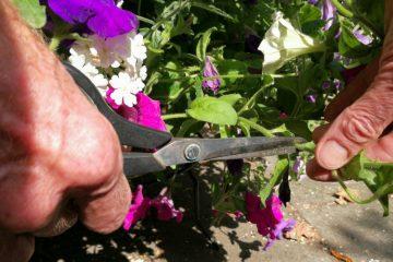 eenjarige zomerbloeiers petunia verbena snoeien2