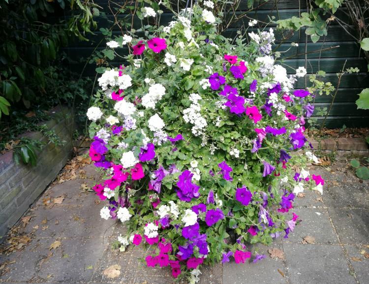 eenjarige zomerbloeiers petunia verbena