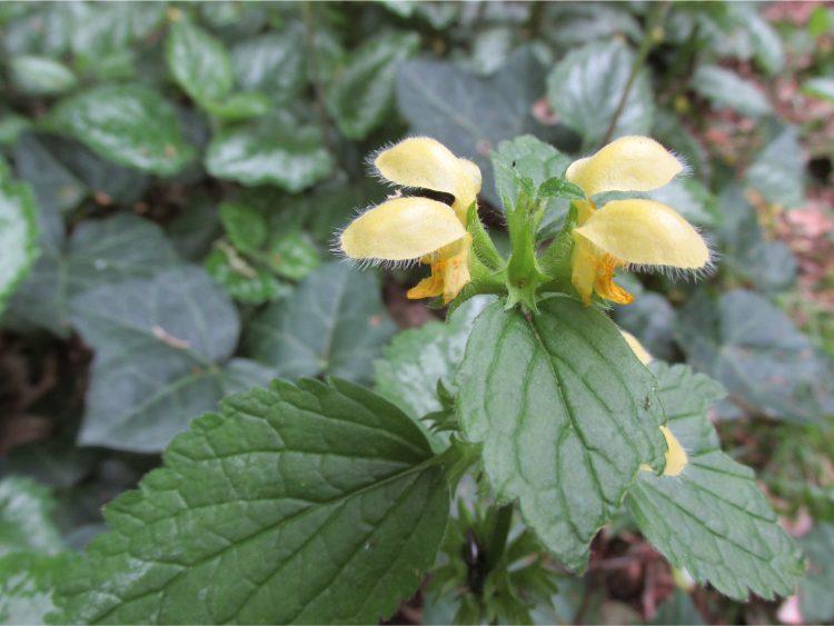 Gele dovenetel: mooi, maar niet voor een kleine tuin