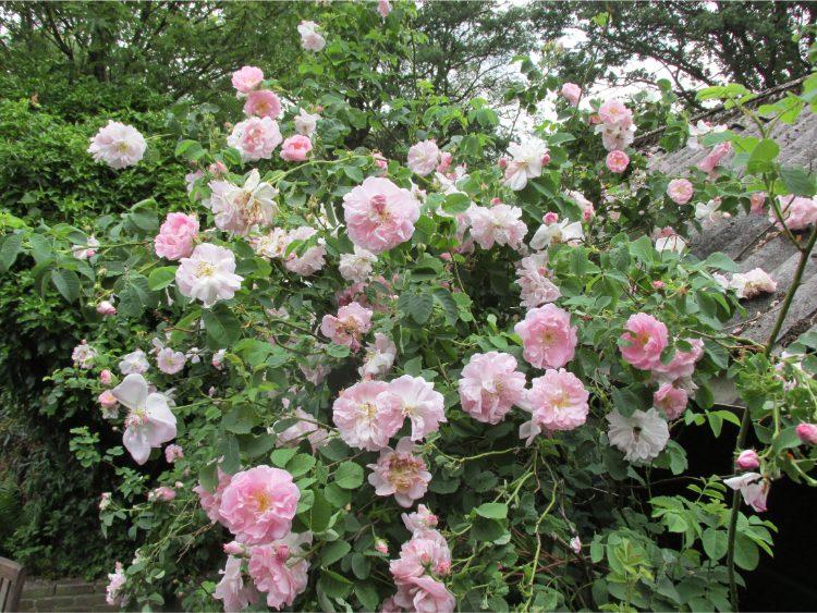 rozenstruik botanische roos