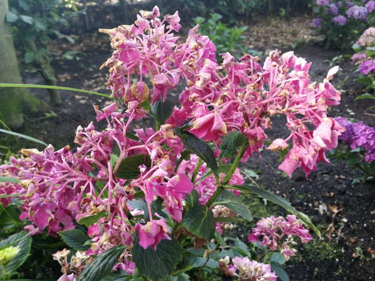 bloemen hortensia verdroogd verbrand hittegolf