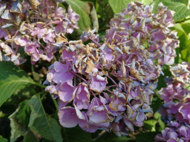 Hortensia beschermen tegen felle zon (verbranding voorkomen)
