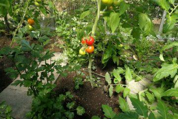 tomaten in kas met kruiden
