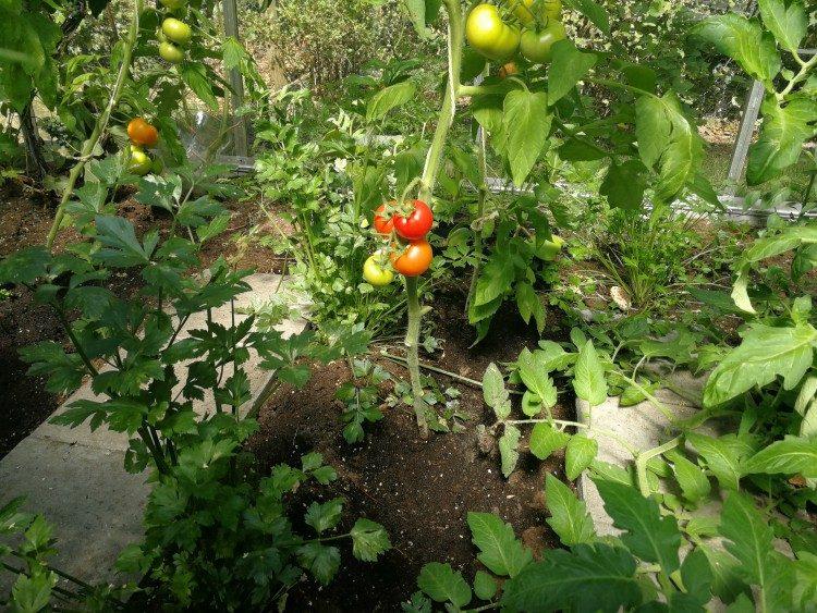 Tomaten en kruiden: samen planten tegen ziektes