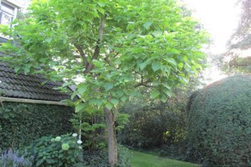 oudere bomen catalpa