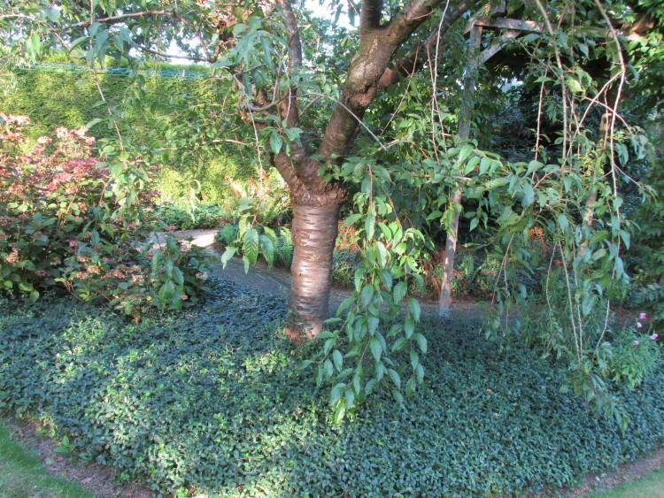 oudere bomen prunus japanse sierkers
