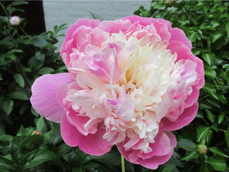 pioenroos dubbel roze wit