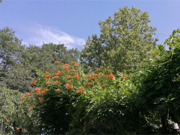 Campsis radicans klimplant.