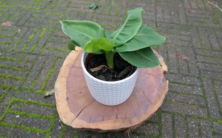 Zo verzorg je een bananenplant (musa)