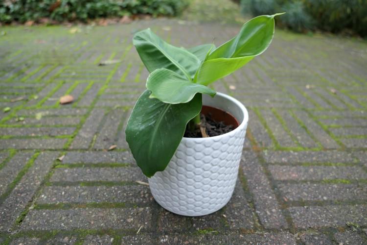 bananenplant musa verzorgen