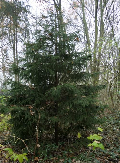 fijnspar in bos