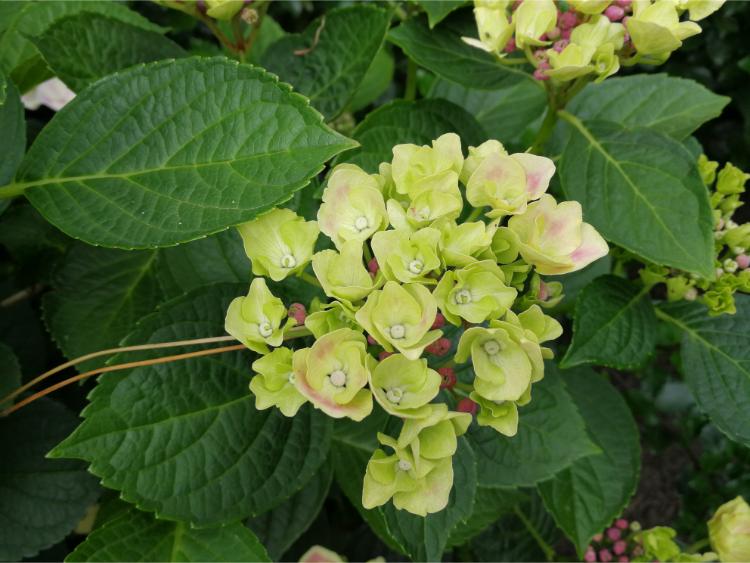 hortensia magical amethyst lente lichtgroen
