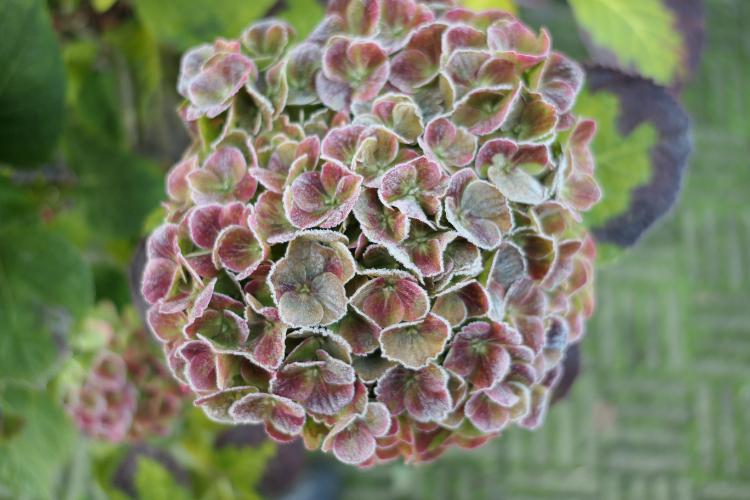 hortensia magical amethyst vorst