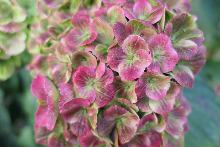 hortensia magical amethyst