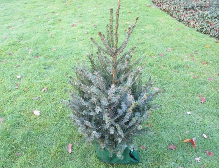 kerstboom servische spar kluit