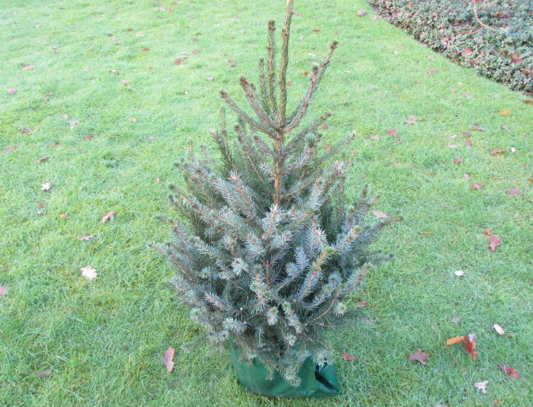 kerstboom servische spar