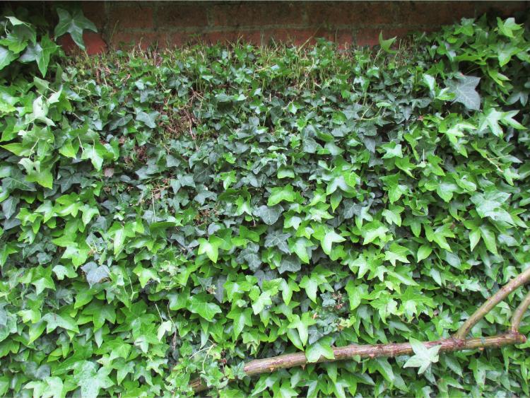 klimplanten hechtwortels klimop